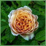11th Jun 2016 - Peach Rose