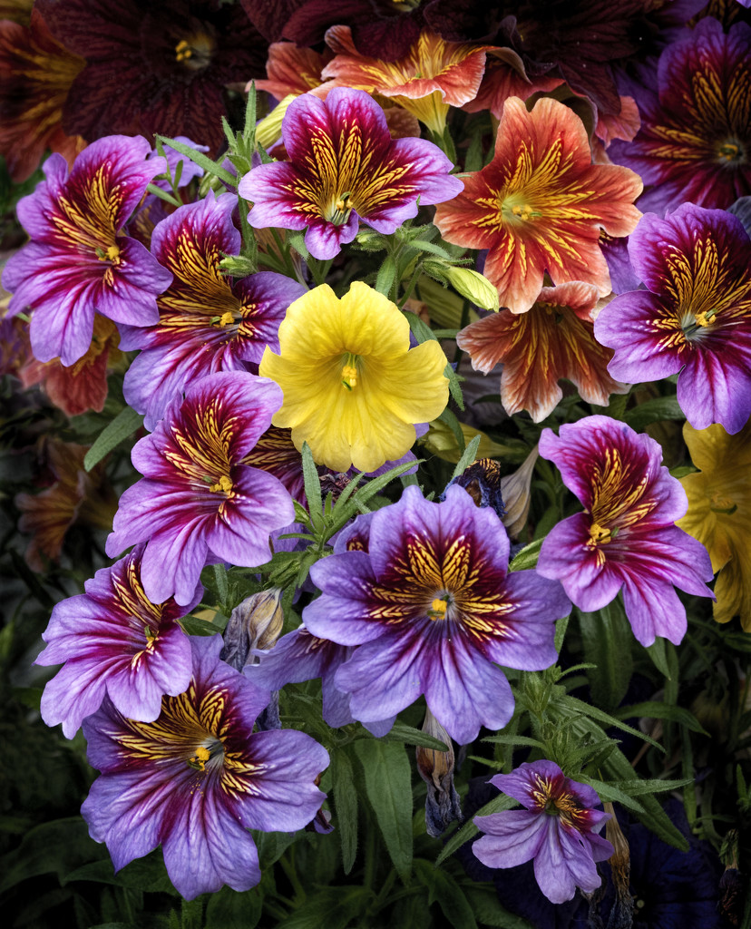 Salpiglossis by lupus