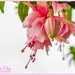 Fuchsia In The Rain by carolmw