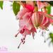 Fuchsia In The Rain by carolmw