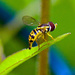Hover Fly by dianen