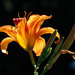 Tiger Lily Beauty by milaniet