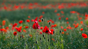 14th Jun 2016 - And they call it Poppy Love !
