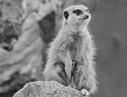 14th Jun 2016 - Mono Meerkat
