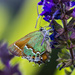 juniper hairstreak by aecasey