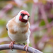 2016 06 16 Goldfinch by pamknowler