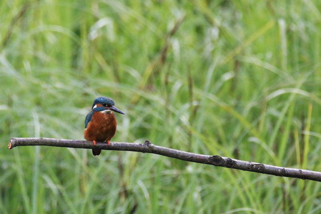 2016 06 16 - New Kingfisher by pixiemac