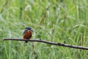 16th Jun 2016 - 2016 06 16 - New Kingfisher