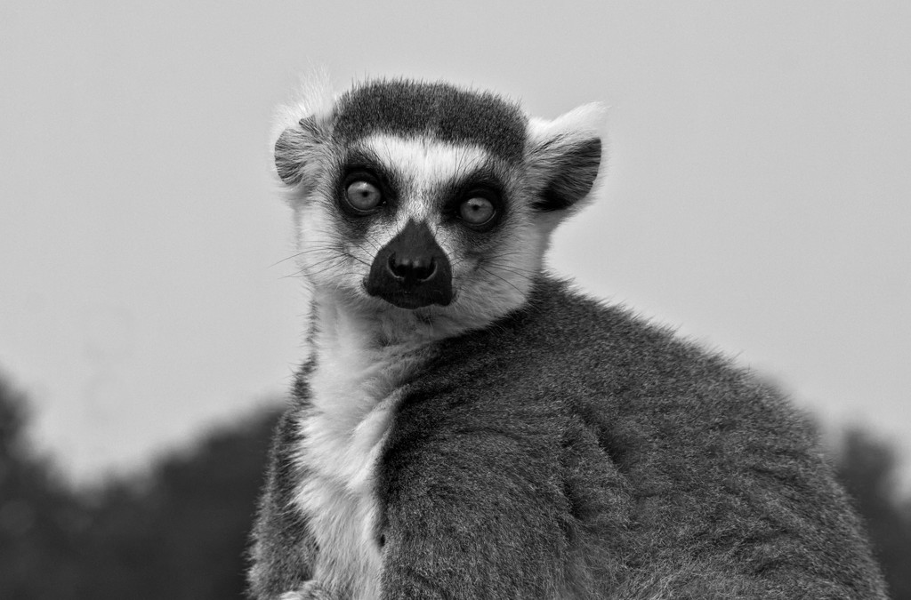 Ring-tailed Lemur in mono by phil_howcroft