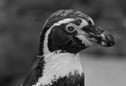 16th Jun 2016 - Humboldt Penguin Profile