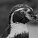 Humboldt Penguin Profile