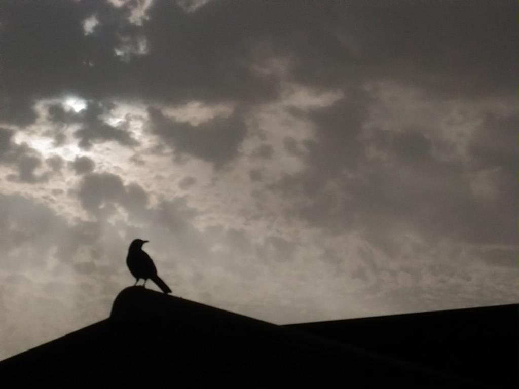 Blackbird by frappa77