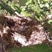 Eastern King Bird Nest
