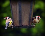 17th Jun 2016 - Goldfinches