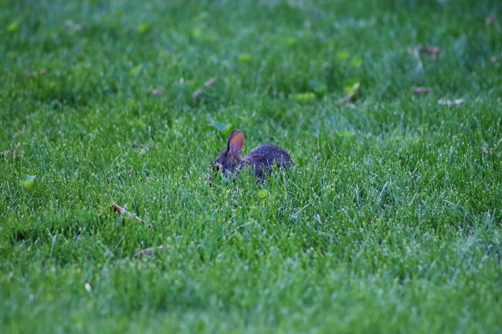 Baby Bunny by randy23
