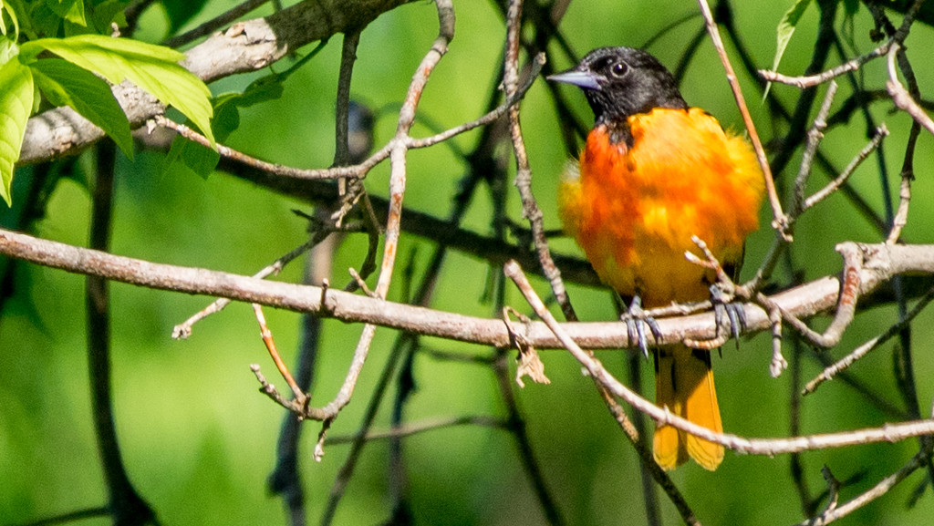 Baltimore Oriole by rminer