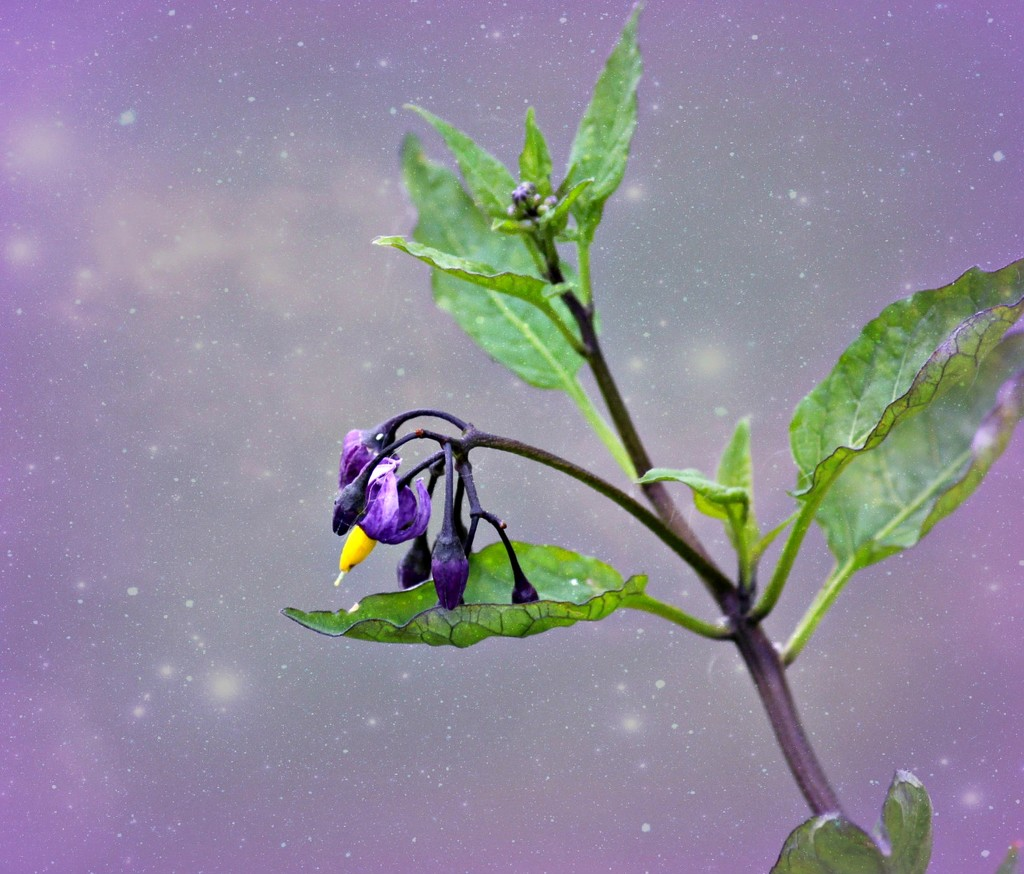 Deadly Nightshade.  by wendyfrost