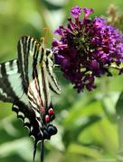 8th Jun 2016 - Zebra swallowtail