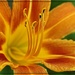 First Day Lily Blossom by olivetreeann