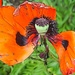 poppy in 'illlustration' by quietpurplehaze