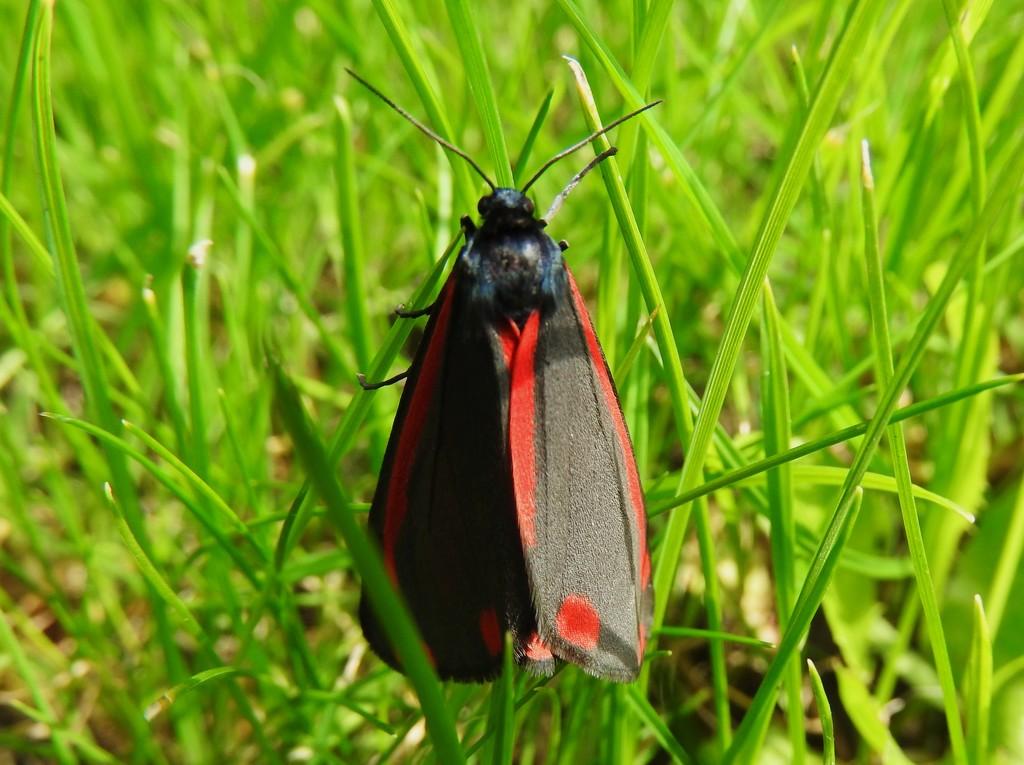 Cinnabar Moth by oldjosh