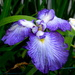 Iris, Swan Lake Iris Gardens, Sumter, SC by congaree