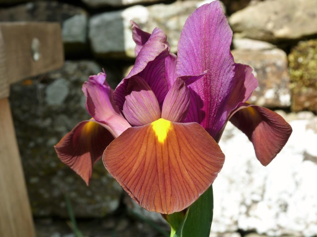 Iris by shirleybankfarm