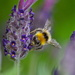 LAVENDER BEE by markp