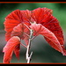 Angel wing begonia leaves