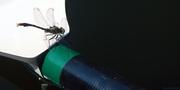 13th Jun 2016 - Dragonfly on my oar blade
