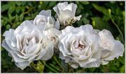 22nd Jun 2016 - White Roses