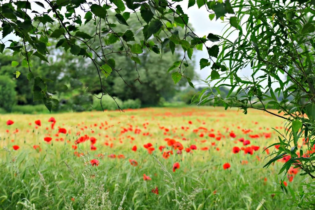 A Peep into a Poppy Field. by wendyfrost