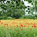 A Peep into a Poppy Field. by wendyfrost