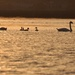 Swan Family at Sunset by frantackaberry