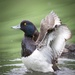 Tufted Duck-male by padlock