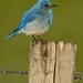 mountain bluebird by mjalkotzy