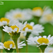 Daisy Days by carolmw