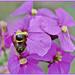Erysimum And Wasp