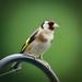 Goldfinch-best on black by padlock