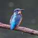 KINGFISHER by markp