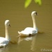 Swans by thewatersphotos