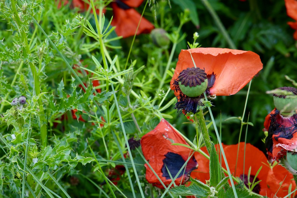 Day 176 - Thistles win, poppies lose. by wag864