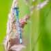 2016 06 26 Common Blue Damselfly by pamknowler