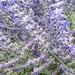 Hide and seek in the lavenders