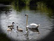 27th Jun 2016 - The Swan Family