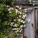Roses around the door by megpicatilly