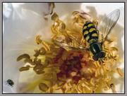 27th Jun 2016 - Macro wasp