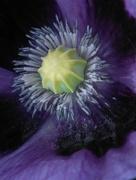 28th Jun 2016 - Purple poppy's pollen