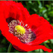 Poppy by carolmw