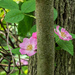 Swamp Roses by rminer